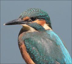 martin pescatore -kingfisher -Alcedo atthis