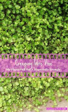 Plant Pick: Creeping Wire Vine….Say What? via @hypertufagarden