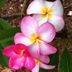 Perfect Hawaiian flowers