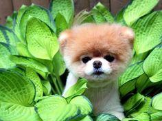 Boo - The Cutest Dog of World