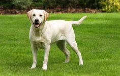 Labrador - very friendly dog