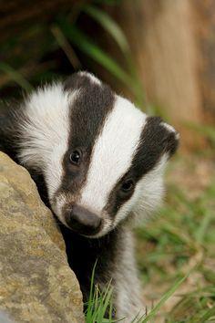 Baby badger by 7D man!, via Flickr