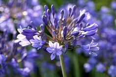 Agapanthus, needs full sun. Warm winters reduce flowering, keep moist after flowering until autumn. Growing them potbound is a myth. Growing Flowers, Planting Flowers, African Lily, African Plants, English Country Gardens, Purple Garden, Replant, Summer Flowers, Gardens