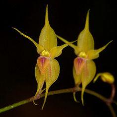 Teagueia pailinii | Flickr - Photo Sharing!