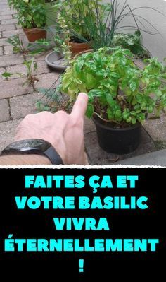 Faites ÇA et votre basilic vivra éternellement ! Garden Planters, Herb Garden, Vegetable Garden, Succulent Gardening, Garden Shrubs, Organic Gardening, Gardening Tips, Gardening Services, Indoor Gardening