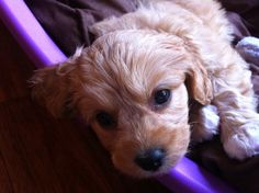 I wish I had a cavoodle puppy that looked like this