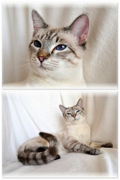 Seal Lynx Point Siamese Cat (applehead) looks like our precious lil sneakers....