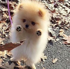 Adorable Little Baby Pomeranian Puppy having fun with the Autumn Leaves - Animals ~~Group Board - Tiny Puppies, Cute Dogs And Puppies, Doggies, Puppies Tips, Boxer Puppies, Cute Fluffy Puppies, Dalmatian Puppies, Miniature Puppies, Corgi Mix