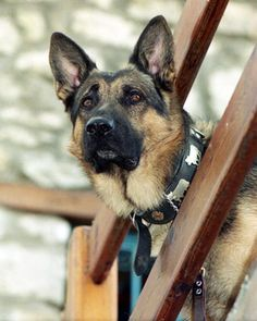 Absolutely beautiful dog....can't stop posting german shepherds!