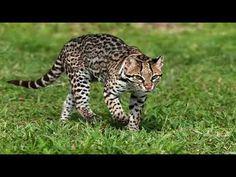 Ocelot, Big Cat Family, Vulnerable Species, Fox Images, Clouded Leopard, Extinct Animals, Vegan Animals, Abyssinian, My Animal