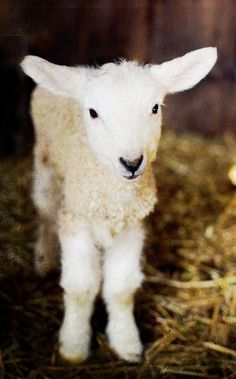 Lamb Fine Art Print by janeheller on Etsy, baby Animals Farm Photography, Animal Photography, Cute Baby Animals, Farm Animals, Wild Animals, Beautiful Creatures, Animals Beautiful, Sheep And Lamb, Baby Sheep