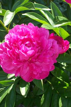 How to Split Peonies | Garden Guides I'm pretty sure there are peonies in front of our house.