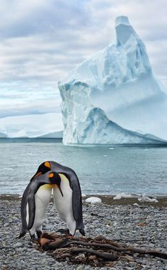 Penguin Love Photo by max seigal — National Geographic Your Shot