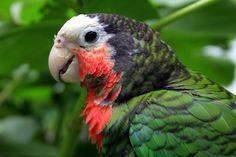 Cuban Amazon Parrot.