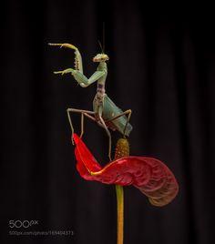 Preying Mantis by dlain1 #nature #photooftheday #amazing #picoftheday
