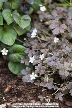 """Trädgårdsflow: a lovely plant. trädgårdsnäva """"sanne"""" mörka blad, vita blommor, 20cm hög, bra spridning, trivs i sol."""
