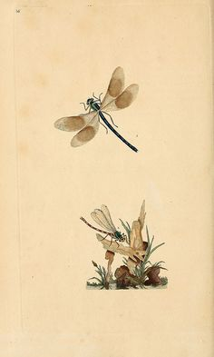 Dragonfly from: The natural history of British insects. v.1. London :Printed for the author, and for F. and C. Rivington,1792-1813.  biodiversitylibrary.org/page/30029648