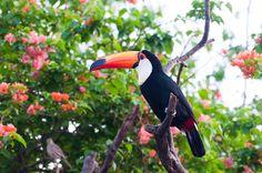 Foto tucanuçu (Ramphastos toco) por Ivan Angelo | Wiki Aves - A Enciclopédia das Aves do Brasil