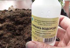 Перекись водорода – хороша как удобрение и прекрасна от вредителей | Летний досуг | Яндекс Дзен