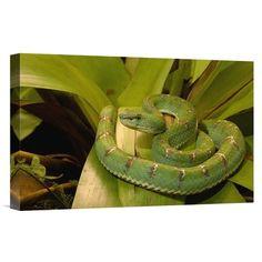 East Urban Home Ecuador Esmeraldas Arboreal 'Eyelash Viper Venomous' Photographic Print on Wrapped Canvas Size: