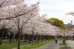 https://flic.kr/p/FBd3GY | Cherry Blossoms, Kema-Sakuranomiya-koen Park, Osaka, 2016 | 毛馬桜之宮公園