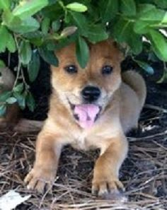 ADOPTED. Hey there! My name is Winkie. I am a female 10 week old lab/shepherd mix puppy. I am a very sweet puppy and love to play with my canine & human friends. I will be arriving in PA on 9/21. I am spayed and up to date on shots. Will you adopt me?