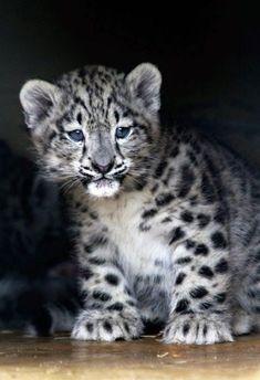 Exotic Jungle Looks and Wild Ocelot cat Snow Leopard CubSnow Leopard Cub Baby Snow Leopard, Leopard Cub, Leopard Animal, Leopard Kitten, Clouded Leopard, Leopard Eyes, Big Cats, Cool Cats, Cats And Kittens