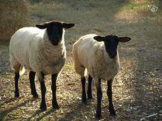 Mouton sukffock