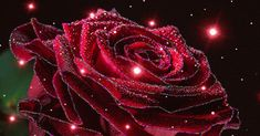 GIF by Franca Buchet. Discover all images by Franca Buchet. Find more awesome rose images on PicsArt. Beautiful Rose Flowers, Beautiful Flower Arrangements, Beautiful Gif, Exotic Flowers, Beautiful Flowers Pictures, Beautiful Flowers Wallpapers, Flower Pictures, Rosas Gif, Gif Bonito