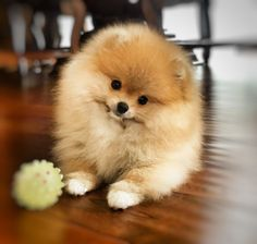 Pomeranian, my little Dolly.