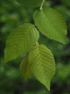 mezei szil (asszimmetrikus levélalap) Plant Leaves, Plants, Planters, Plant, Planting