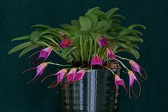 Orchids in Bloom: Masdevallia glandulosa