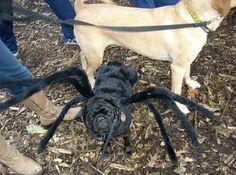 Spider Pug!