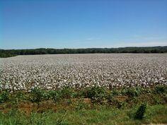 Cotton field in Cartersville, GA