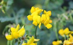 Autóctonas en el jardín: Conoce a la Coronilla glauca http://autoctonas-jardineria.blogspot.com.es/
