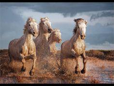 Fotografía Carmargue Horse Gallop por Jane M  Lines en 500px