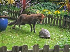 White Wolf : The fox and .... the tortoise: Garden visitor becomes best friends (Photos)