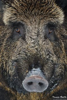 Wild Boar by Thomas Marth on Wild boar or wild pig (Sus scrofa) is a species of the pig genus Sus, part of the biological family Suidae. Nature Animals, Animals And Pets, Cute Animals, Beautiful Creatures, Animals Beautiful, Regard Animal, Hog Hunting, Wild Boar, Tier Fotos