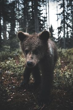 Nature Landscape Photography | lsleofskye:   The bear, wolf and other wild...