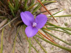 Patersonia fragilis Lotus, Seeds, Plants, Native Plants, Flowers, Lotus Flower, Plant, Lily, Planets