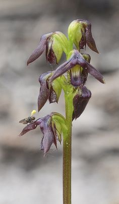 Bearded Midge-orchid: Corunastylis morrissi