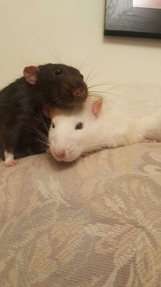 My babies Peeves and Pettigrew #aww #cute #rat #cuterats #ratsofpinterest #cuddle #fluffy #animals #pets #bestfriend #ittssofluffy #boopthesnoot