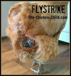 Flystrike in Backyard Chickens, Causes, Prevention & Treatment