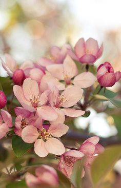 crabapple - this raises a memory I associate with my Grandmother... how beautiful.