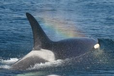 Wild Orcas in the Pacific Northwest are Starving to Extinction. Here's What You Can Do to Help