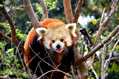 Here is a cute red panda face.