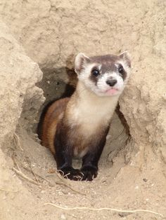 The Toronto Zoo has been an integral part of the recovery program for the endangered black-footed ferret since 1992. To date, we have produced 109 litters and 472 kits, many of which have been reintroduced to the wild throughout North America!