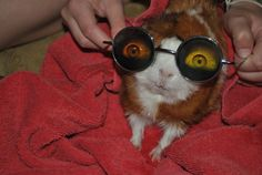 funny guinea pig in glasses