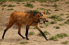 Mähnenwolf von TinaEA