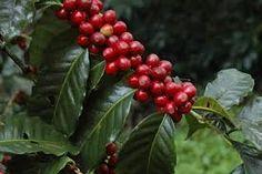 Colombian coffee Colombian Coffee, Or Noir, Chicharrones, Coffee Photos, Coffee Design, Flora, Fruit, Tortillas, South America